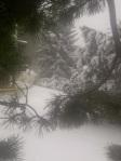 pines snow