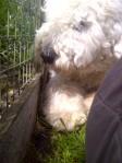 farm dog, keeping me company while I plant cilantro
