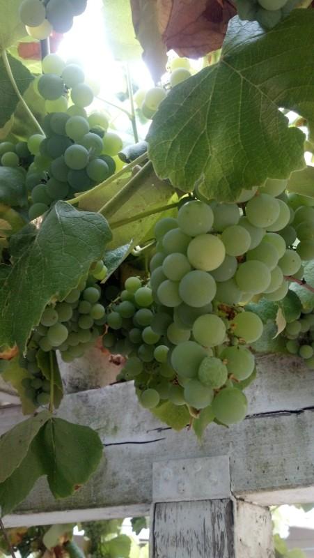 grapes are so pretty